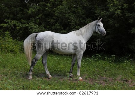 White Holstein horse - stock photo
