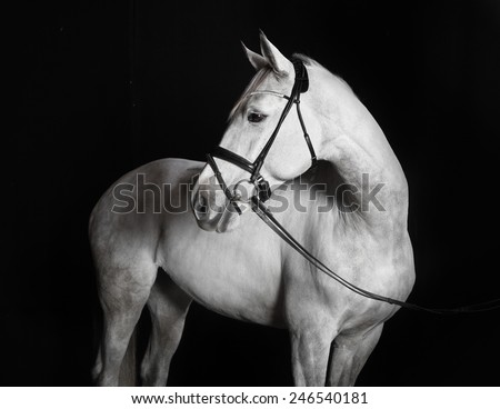 White Holsteiner horse with bridle in studio against black background - stock photo
