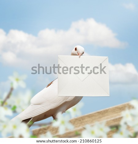 White Homing pigeon with letter. - stock photo