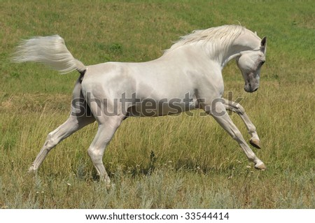 white horse arabian stallion running gallop on the meadow