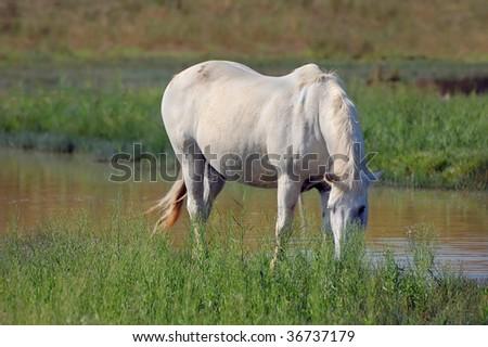 White horse eating grass - photo#11