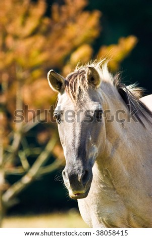 White horse eating grass in a meadow, its head down. - stock photo