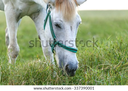 White horse eating green grass in field at sunset time.