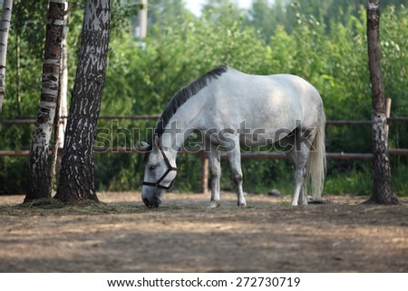 White horse eats plant, in farm. Outdoors - stock photo