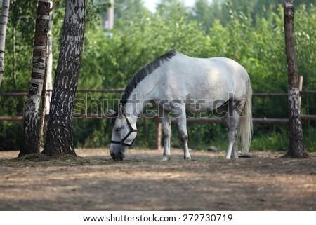 White horse eats plant, in farm. Outdoors - stock photo