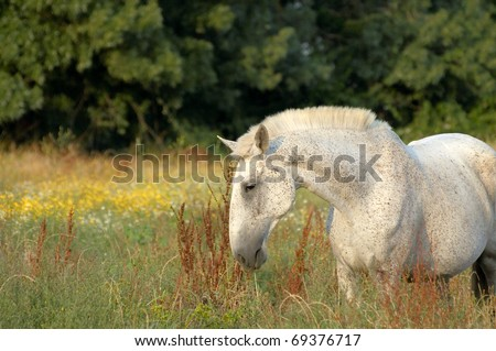 white horse feeding at pasture with flowers - stock photo