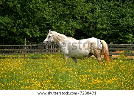 White horse grazing in a flower field in spring