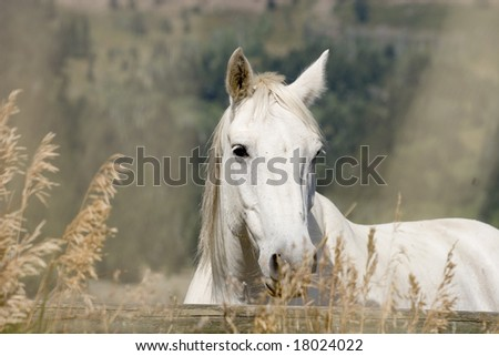 white horse grazing in the field - stock photo