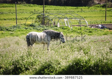 White horse grazing on a grass field - stock photo