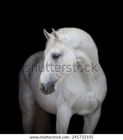 White horse head close up on black, isolated. - stock photo