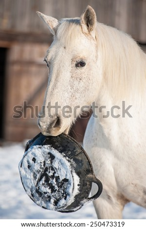 White horse holding a rubber feeding bucket in its mouth - stock photo