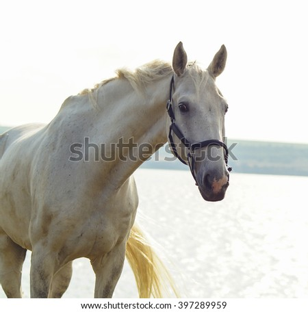 white horse in a black halter stands near the lake river