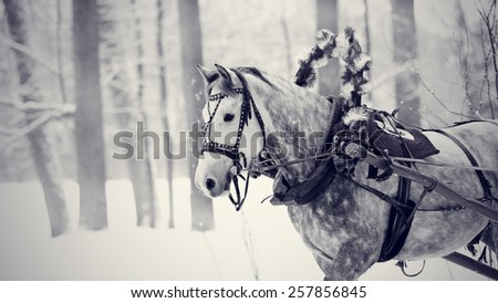 White horse in a harness. Stallion. Portrait of a horse. Thoroughbred horse. Beautiful horse. - stock photo