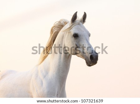 white horse in sunset - stock photo