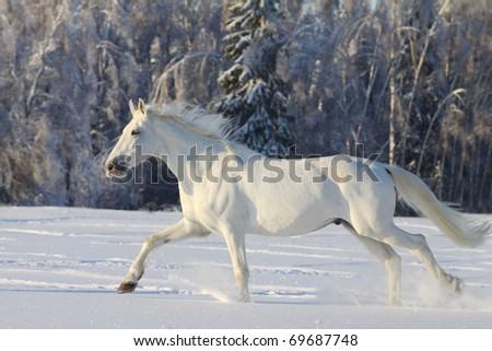 white horse in winter - stock photo