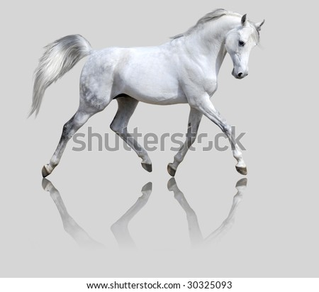 white horse isolated on the gray backgroung - stock photo
