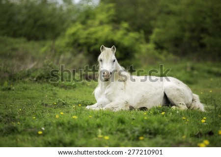 White horse laying down in a field