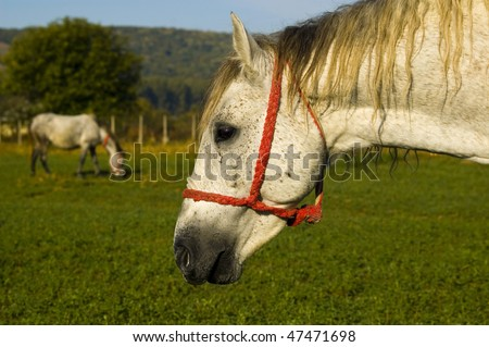 White Horse on green field with red halter