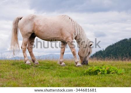 White horse on the mountain pasture. Carpathian mountains. Ukraine. - stock photo