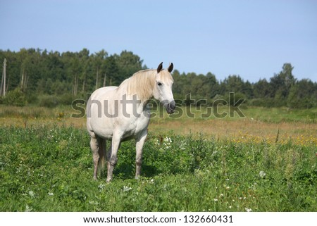 White horse portrait at the pasture in summer - stock photo