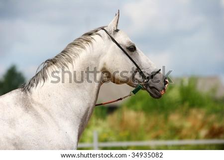 white horse portrait close up - stock photo