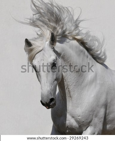 white horse portrait on the gray background - stock photo