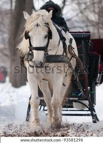 White horse pulling black sleigh in winter - stock photo