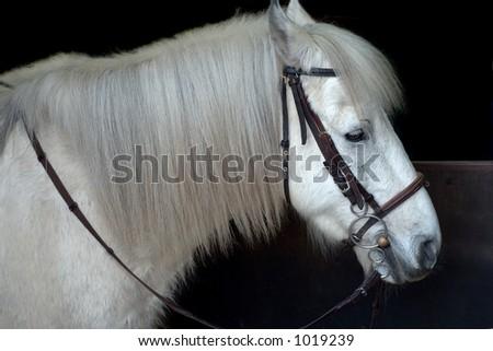 White horse ready to ride - stock photo