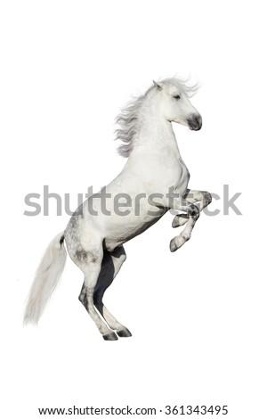 White horse rearing up isolated on white background - stock photo