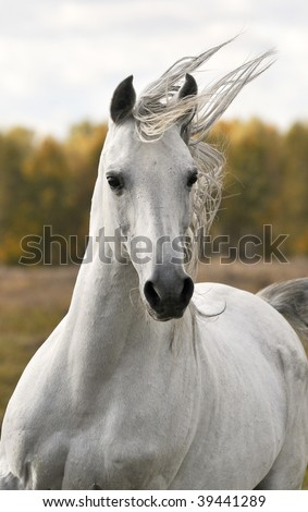 white horse run gallop in autumn - stock photo