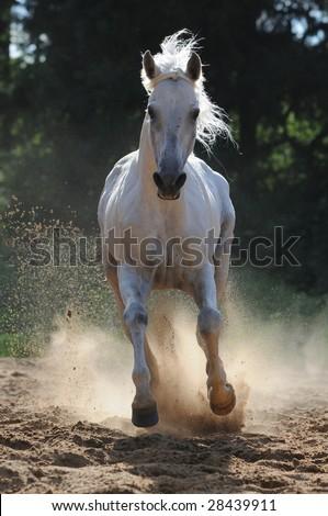 White horse run gallop in dust - stock photo