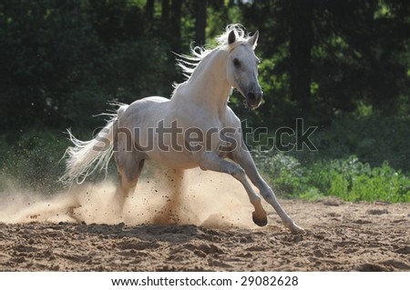 white horse run gallop in dust - stock photo