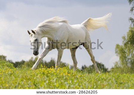 white horse run gallop on meadow blue sky background - stock photo