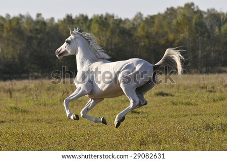 white horse run gallop on the meadow