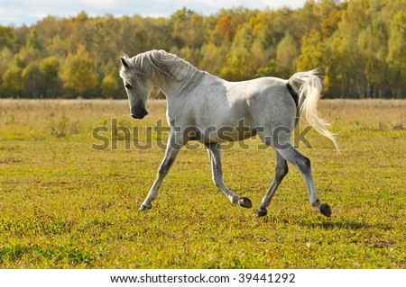 white horse run gallop on the meadow - stock photo