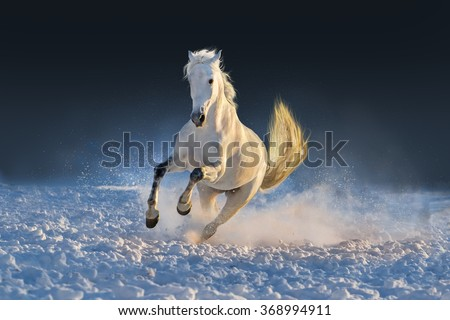 White horse run in snow at sunset - stock photo
