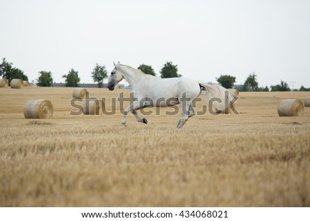 White horse running in a field - stock photo
