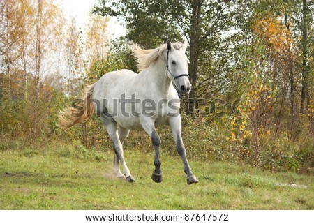 White horse running in the wild in autumn - stock photo