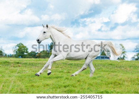 White horse running on the pasture in summer - stock photo