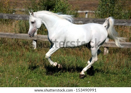 White horse running on the prairie/Arab horse race
