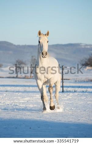 White horse running through snowy landscape - stock photo