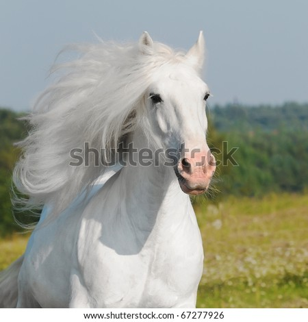 white horse runs gallop - stock photo