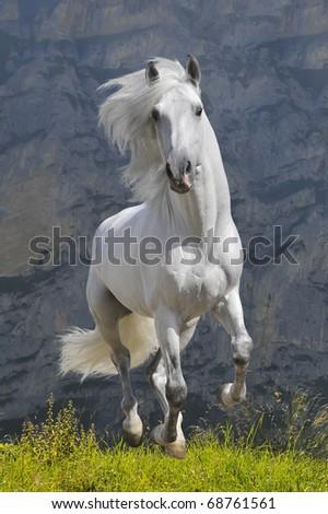 white horse runs gallop in mountain - stock photo