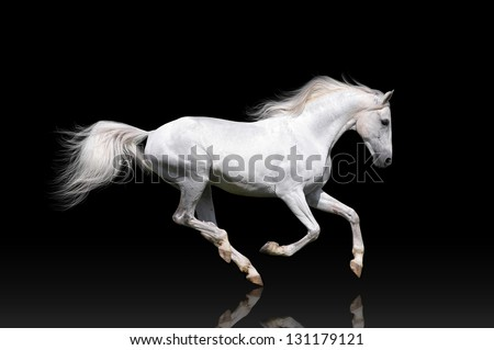 White horse runs gallop on a black background - stock photo