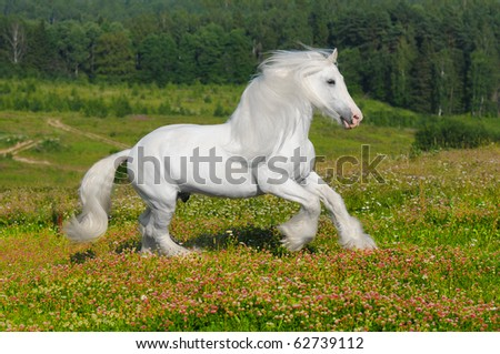 white horse runs gallop on the meadow in summer - stock photo