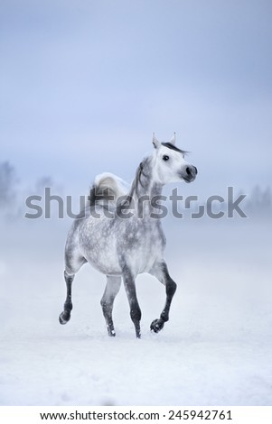 White horse runs on windy winter background, Arabian horse. - stock photo