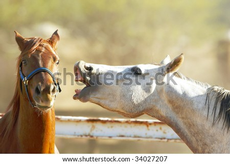White horse show teeth and looking at brown chestnut horse which look back with one eye - stock photo