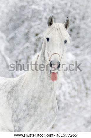 white horse shows tongue in snowy forest background - stock photo