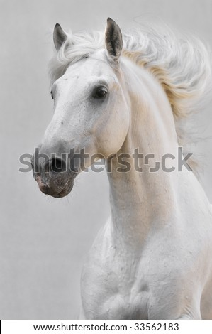 white horse stallion isolated on the gray background - stock photo