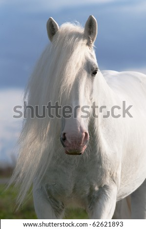 white horse stallion portrait in sunset - stock photo